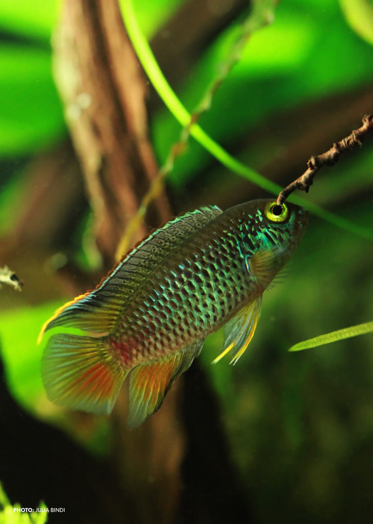 Golden Dwarf Cichlid tropical fish from Discus.ae products online in Dubai and Abu Dhabi UAE