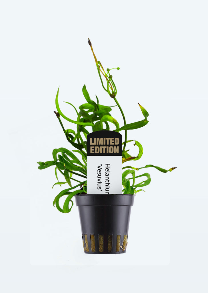 Limited Edition - Helanthium 'Vesuvius' plant from Tropica products online in Dubai and Abu Dhabi UAE