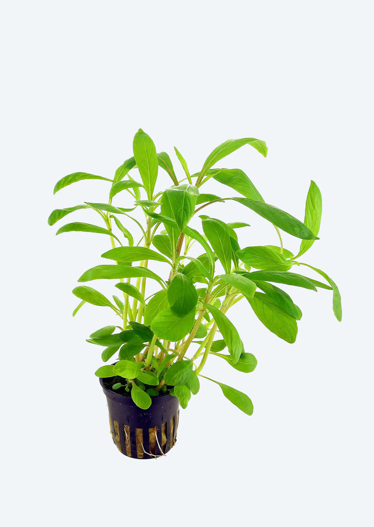 Hygrophila costata plant from Tropica products online in Dubai and Abu Dhabi UAE