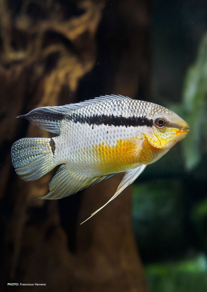 Flag Cichlid tropical fish from Discus.ae products online in Dubai and Abu Dhabi UAE