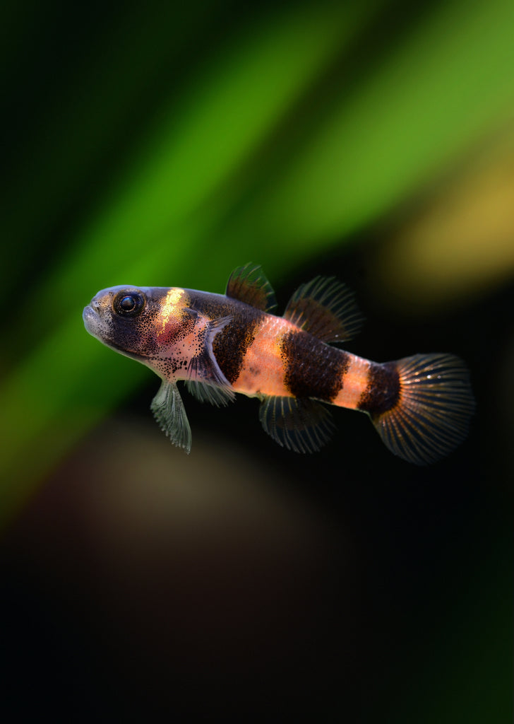 Bumblebee Goby tropical fish from Discus.ae products online in Dubai and Abu Dhabi UAE