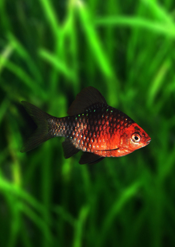 Ruby Barb tropical fish from Discus.ae products online in Dubai and Abu Dhabi UAE