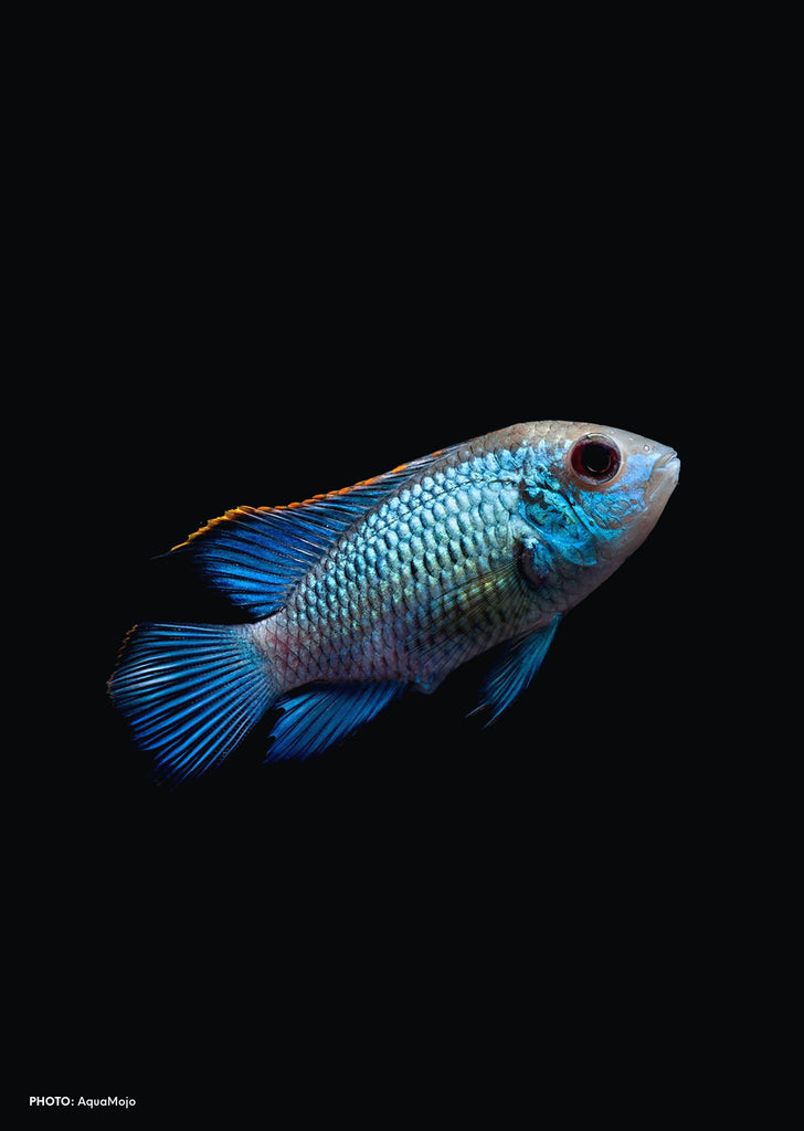 Electric Neon Blue Acara tropical fish from Discus.ae products online in Dubai and Abu Dhabi UAE