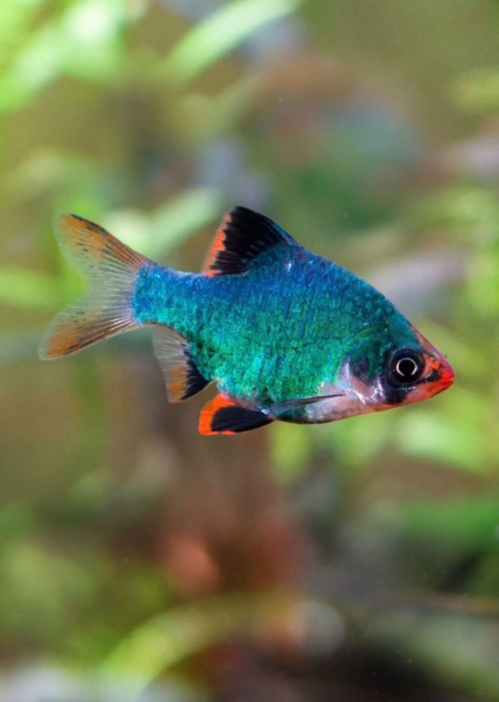 Green Tiger Barb tropical fish from Discus.ae products online in Dubai and Abu Dhabi UAE