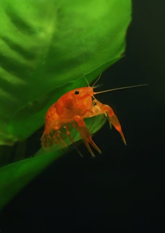 Orange Mini Mexican Crayfish