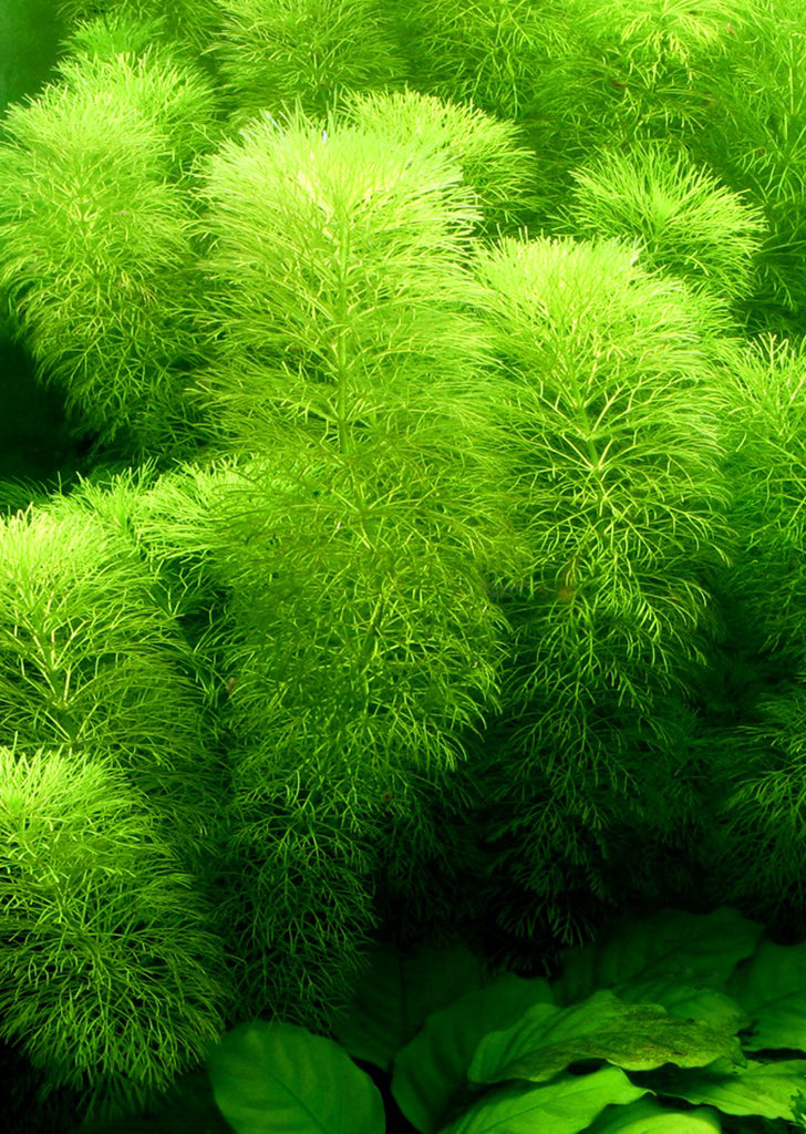 Limnophila aquatica plant from Tropica products online in Dubai and Abu Dhabi UAE