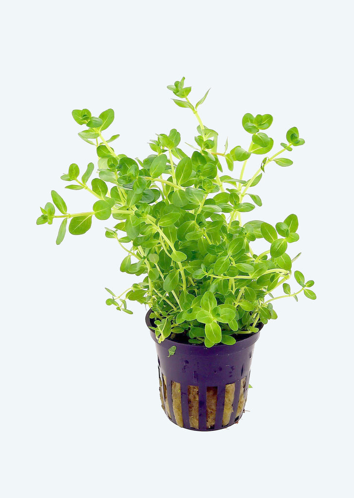 Lindernia rotundifolia plant from Tropica products online in Dubai and Abu Dhabi UAE
