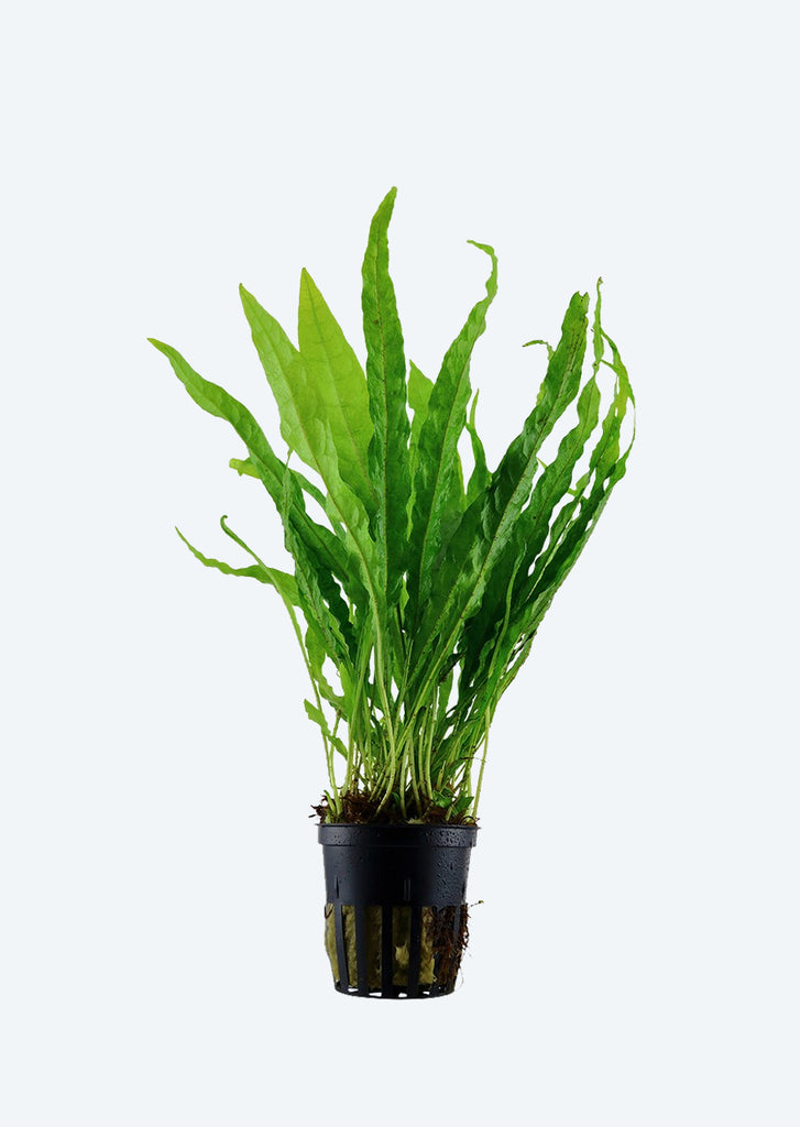 Microsorum pteropus plant from Tropica products online in Dubai and Abu Dhabi UAE