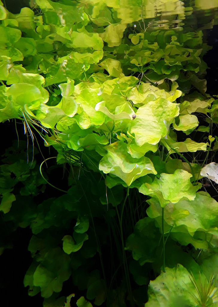 1-2-Grow! Nymphoides h. 'Taiwan' plant from Tropica products online in Dubai and Abu Dhabi UAE