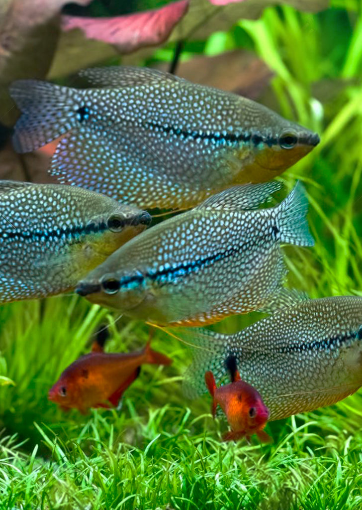 Pearl Gourami tropical fish from Discus.ae products online in Dubai and Abu Dhabi UAE