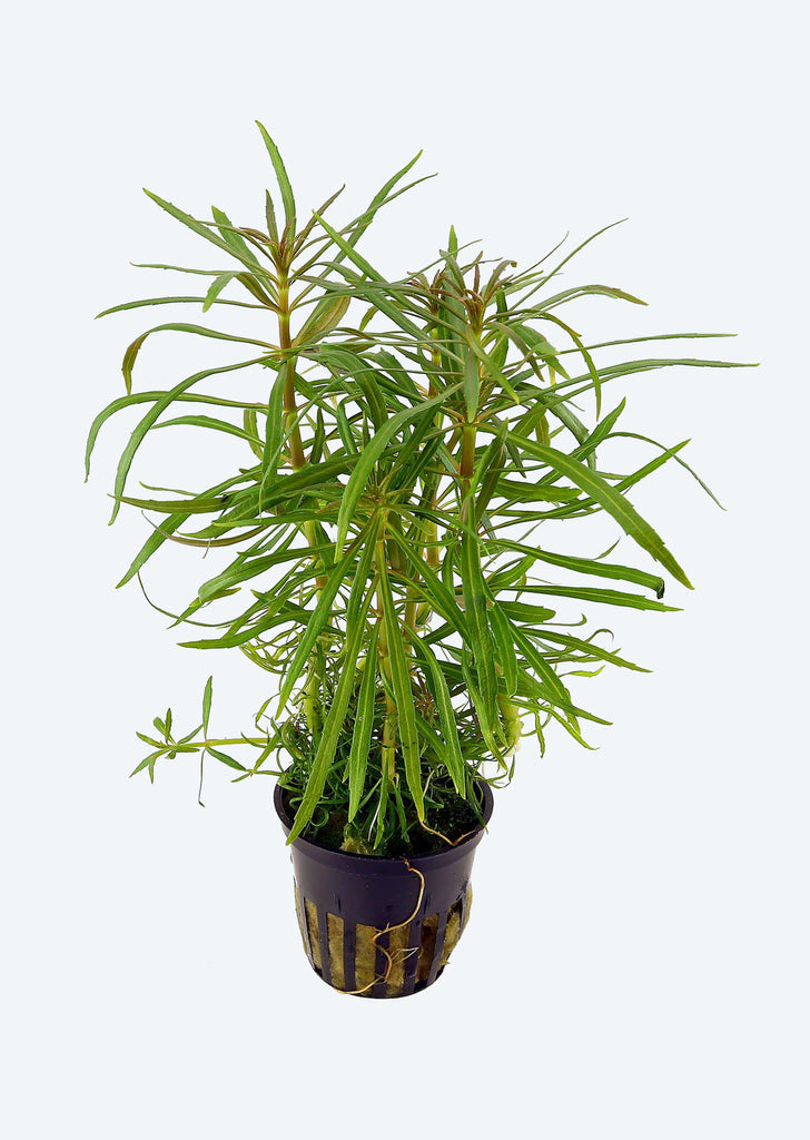 Pogostemon stellatus plant from Tropica products online in Dubai and Abu Dhabi UAE