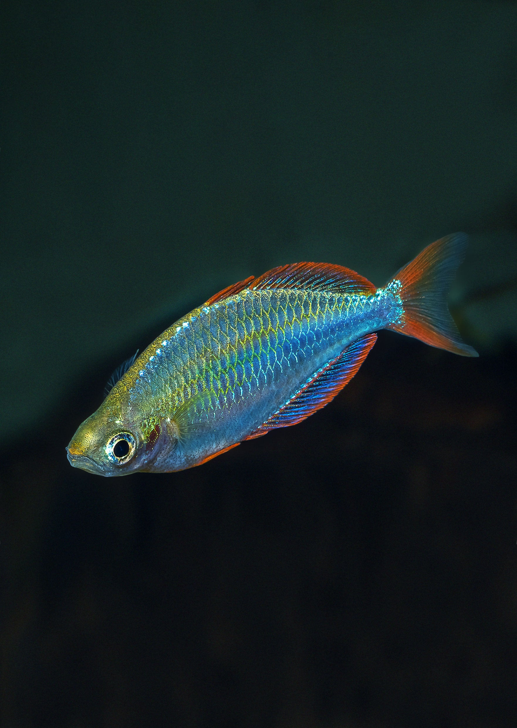 Rainbowfish - Neon Dwarf