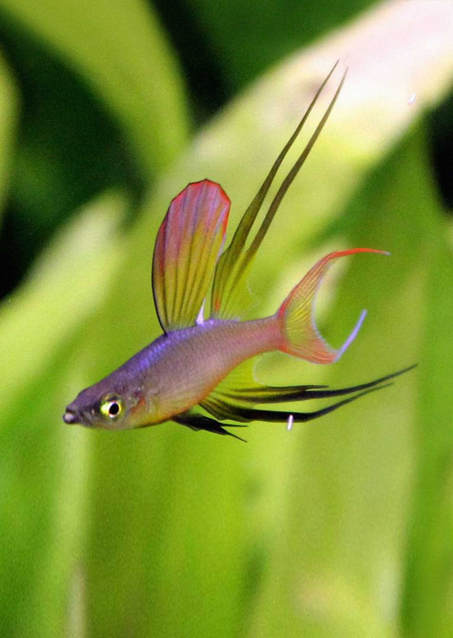 Rainbowfish - Threadfin