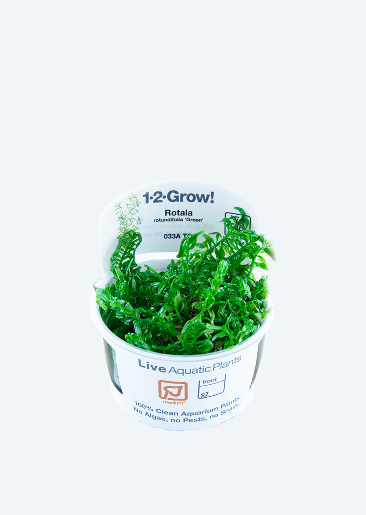 1-2-Grow! Rotala rotundifolia 'Green' plant from Tropica products online in Dubai and Abu Dhabi UAE