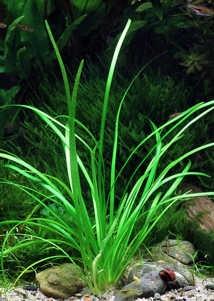 Sagittaria subulata plant from Tropica products online in Dubai and Abu Dhabi UAE
