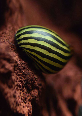 Nerite Snail Zebra tropical fish from Discus.ae products online in Dubai and Abu Dhabi UAE