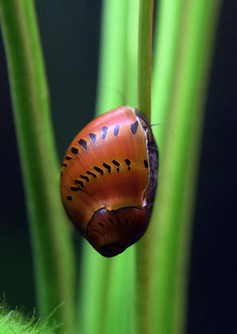 Nerite Snail - Red Spotted