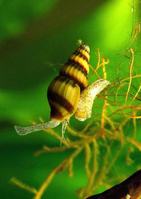 Assassin Snail tropical fish from Discus.ae products online in Dubai and Abu Dhabi UAE