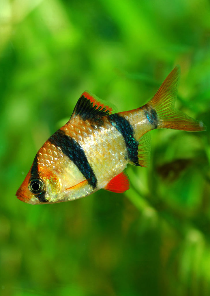 Tiger Barb tropical fish from Discus.ae products online in Dubai and Abu Dhabi UAE