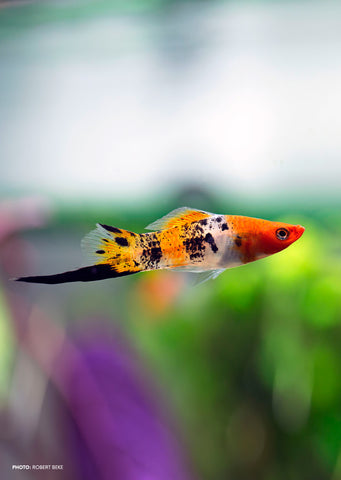 Tricolor Swordtail tropical fish from Discus.ae products online in Dubai and Abu Dhabi UAE