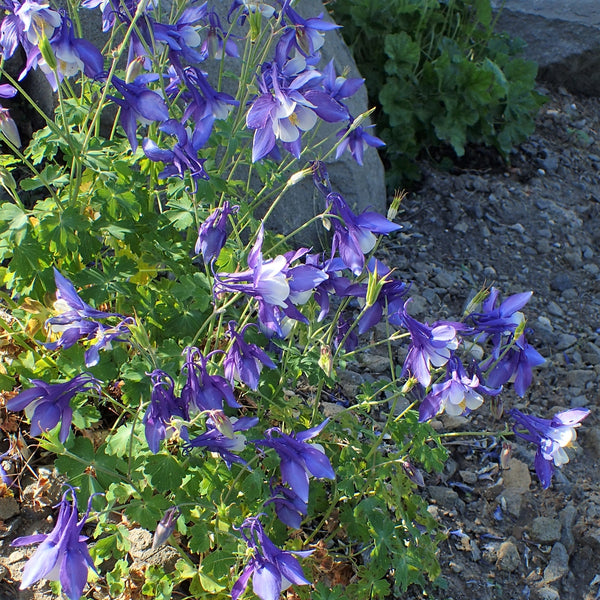 Rocky Mountain Columbine- Art Print and Seeds