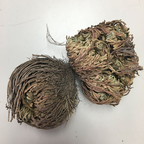 Rose of Jericho - Resurrection Plant - Dragon Herbarium