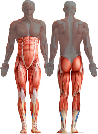 Muscles used for walking