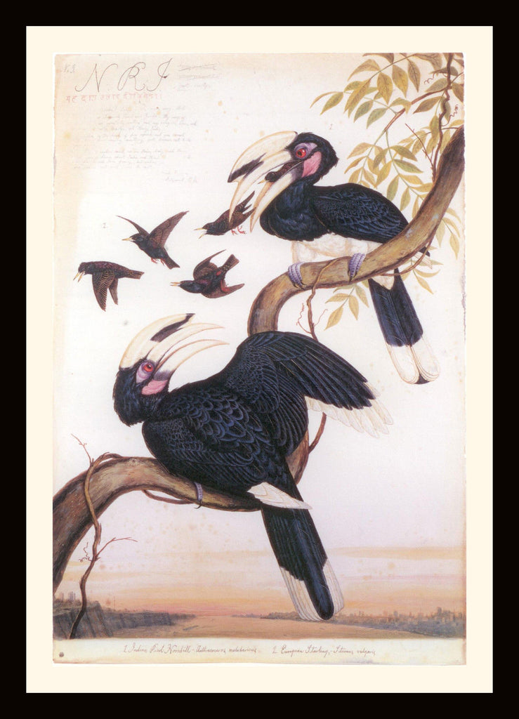 Walton Ford Illustration #07 Double Matted, Ready to Frame: Pied Hornbill