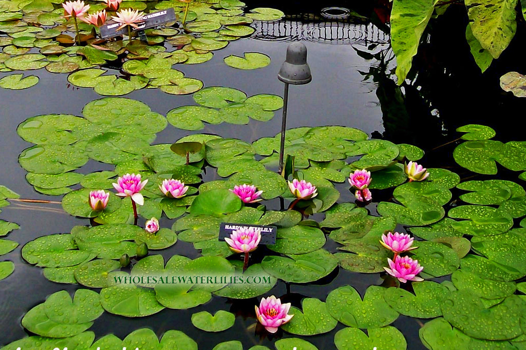 Proper Water Lily Blooms and Flowers