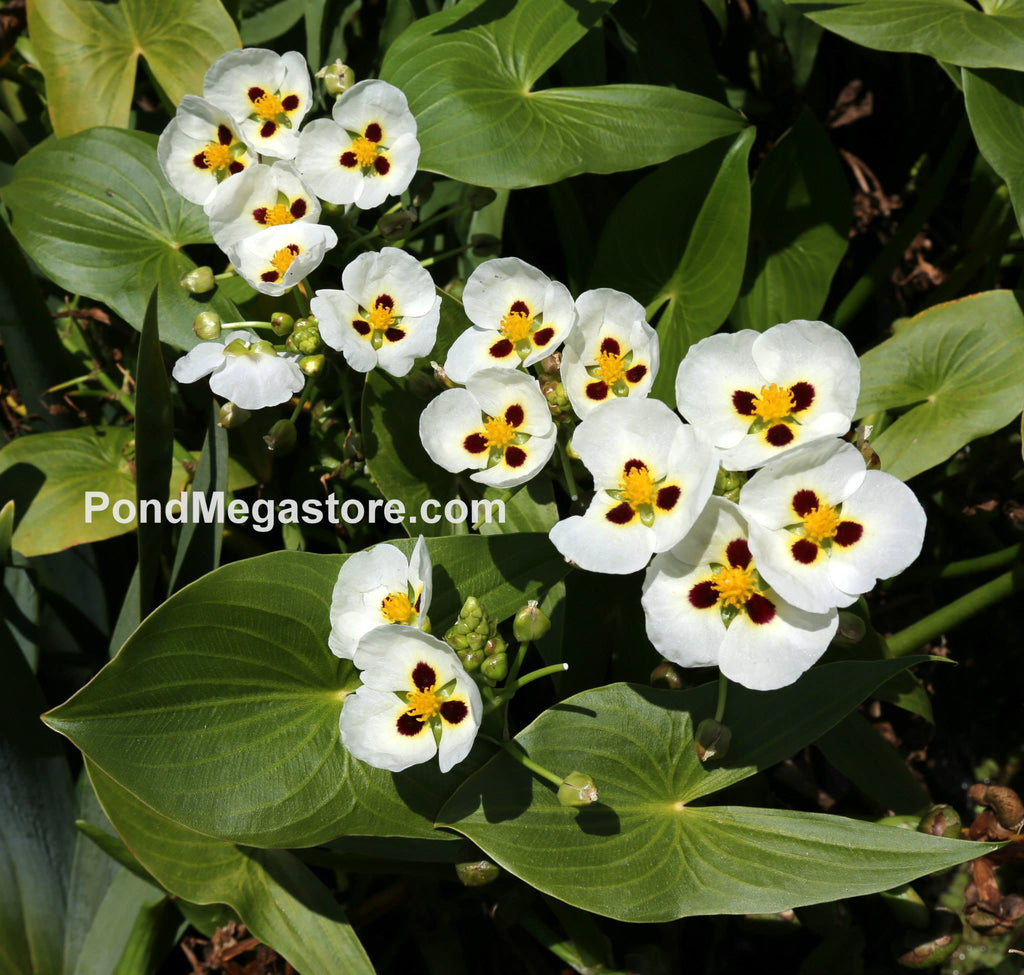 Aztec Ruby-Eye Arrowhead | Sagittaria montevidensis - Pond Megastore Wholesale Waterlilies Dept