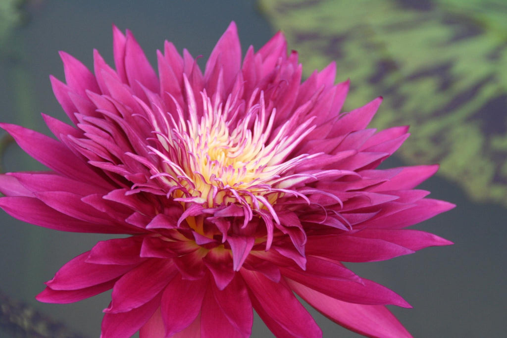 Tropic Punch | Dark Red Water Lily | NEW - Pond Megastore Wholesale Waterlilies Dept