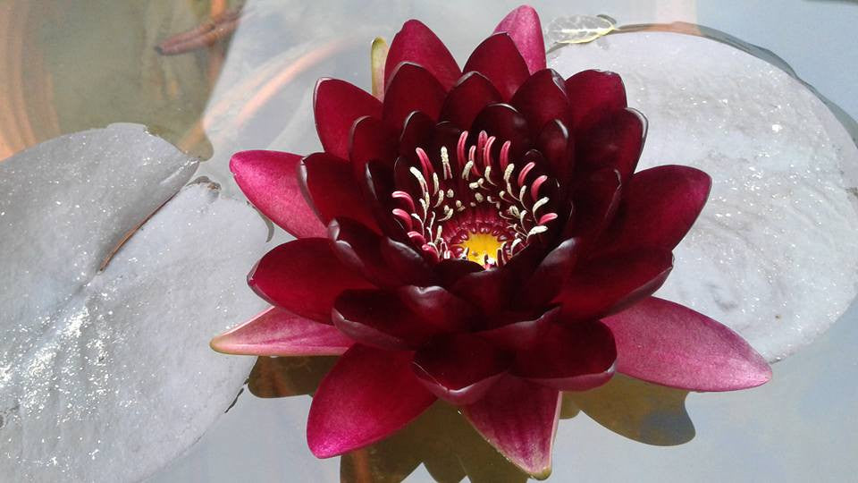 Black Princess | Red Water Lily - Pond Megastore Wholesale Waterlilies Dept