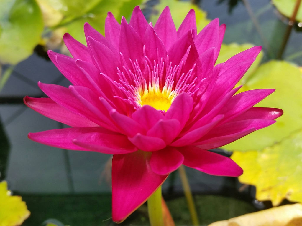 Bull's Eye Red Waterlily - Pond Megastore Wholesale Waterlilies Dept - 2