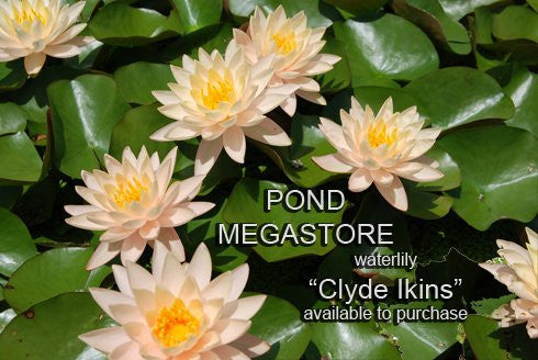 Clyde Ikins | Peach Water Lily | Heavy Blooming - Pond Megastore Wholesale Waterlilies Dept