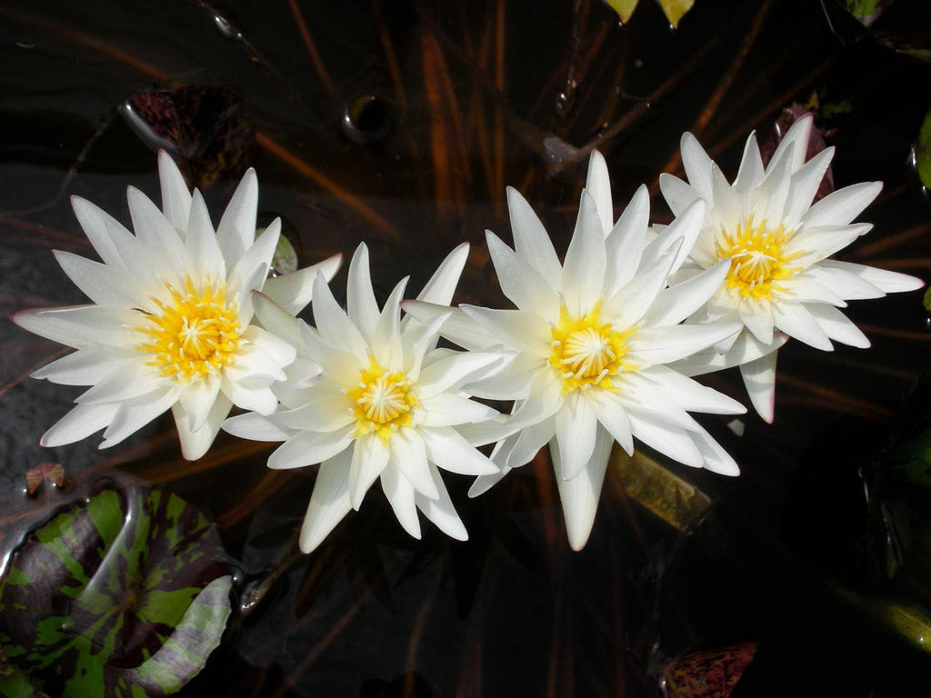 Innocence - White - Fragrant Water Lily - Pond Megastore Wholesale Waterlilies Dept