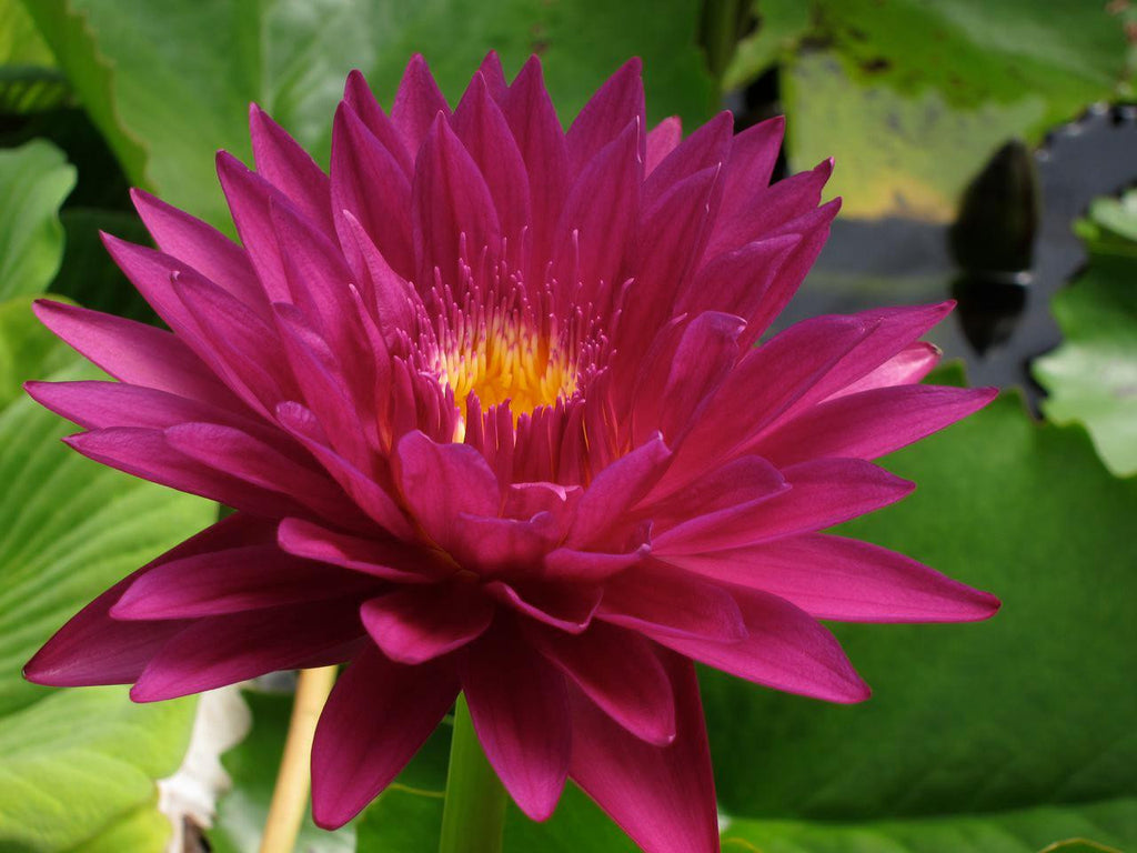 Bull's Eye Red Waterlily - Pond Megastore Wholesale Waterlilies Dept - 1