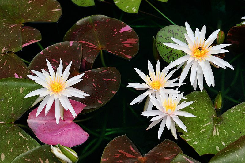 Arc-En-Ciel | Pink Variegated Water Lily - Pond Megastore Wholesale Waterlilies Dept