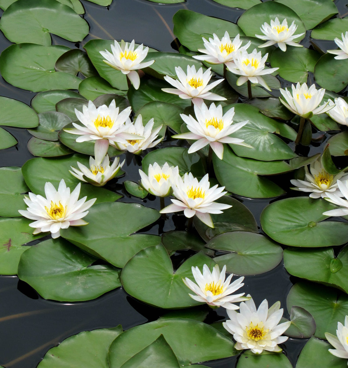Marliac Albida Hardy White Water Lily Pond Megastore Wholesale