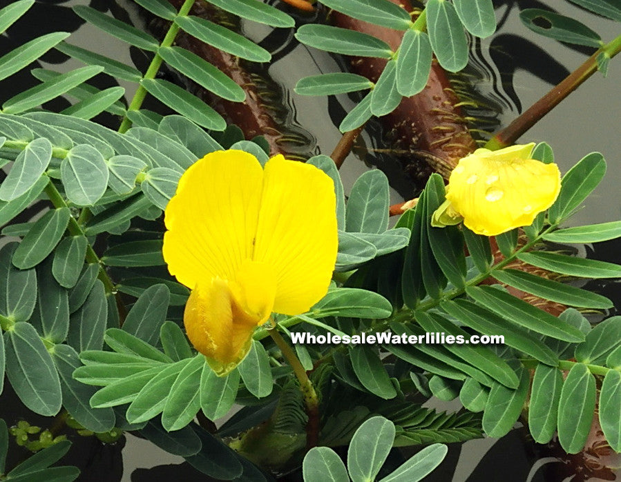 Botswana Wonder | Aeschynomene fluitans | Large Sensitive - Pond Megastore Wholesale Waterlilies Dept - 3