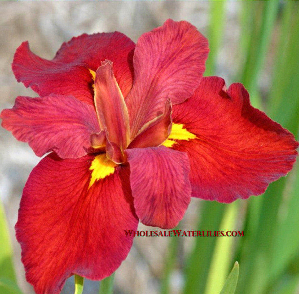 Chowning red louisiana iris pond megastore wholesale waterlilies ann chowning red louisiana iris pond megastore wholesale waterlilies dept izmirmasajfo Images