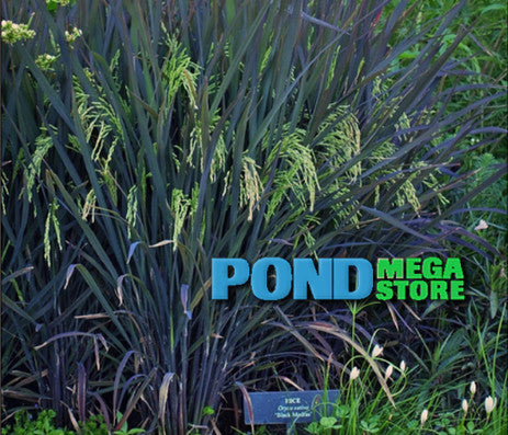 Black Madras Dwarf Ornamental Rice | Oryza sativa - Pond Megastore Wholesale Waterlilies Dept