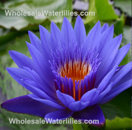 Blue Spider | Water Lily - Pond Megastore Wholesale Waterlilies Dept