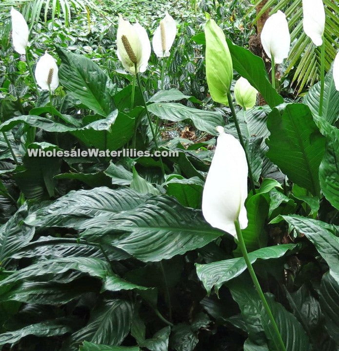 Brazilian Sword | Spathiphyllum spp. - Pond Megastore Wholesale Waterlilies Dept