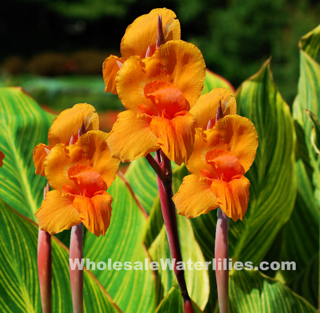 Bengal Tiger Canna, Variegated Orange - Pond Megastore Wholesale Waterlilies Dept