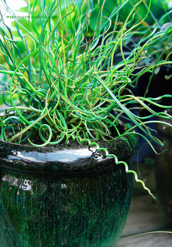 Corkscrew Rush | Juncus effusus - Pond Megastore Wholesale Waterlilies Dept