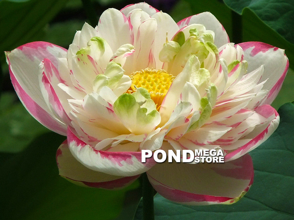 Dasa Jin | Large Versicolor Lotus Nelumbo | Favorite! - Pond Megastore Wholesale Waterlilies Dept - 1