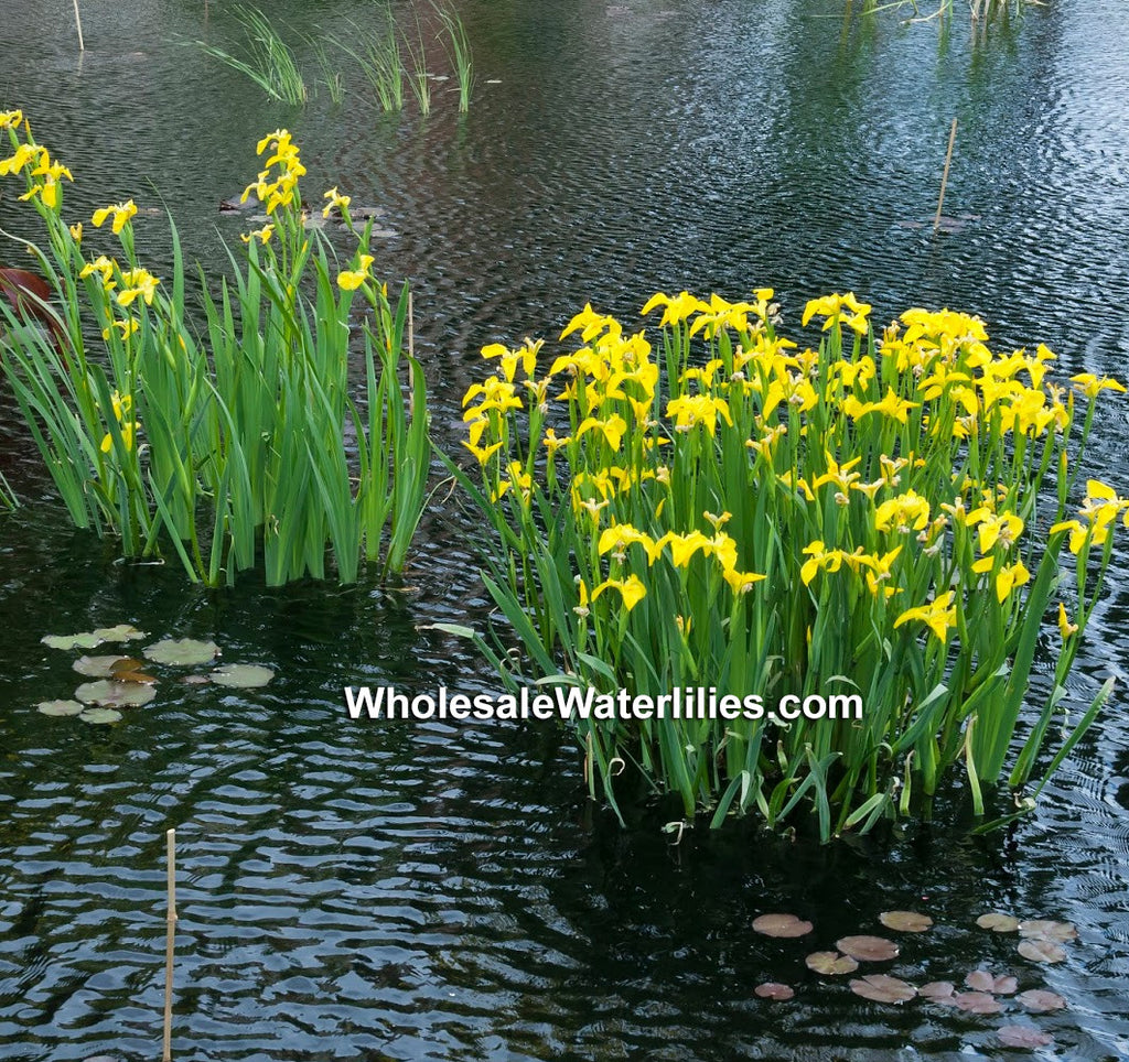 Dixie Deb | Yellow Louisiana Iris - Pond Megastore Wholesale Waterlilies Dept