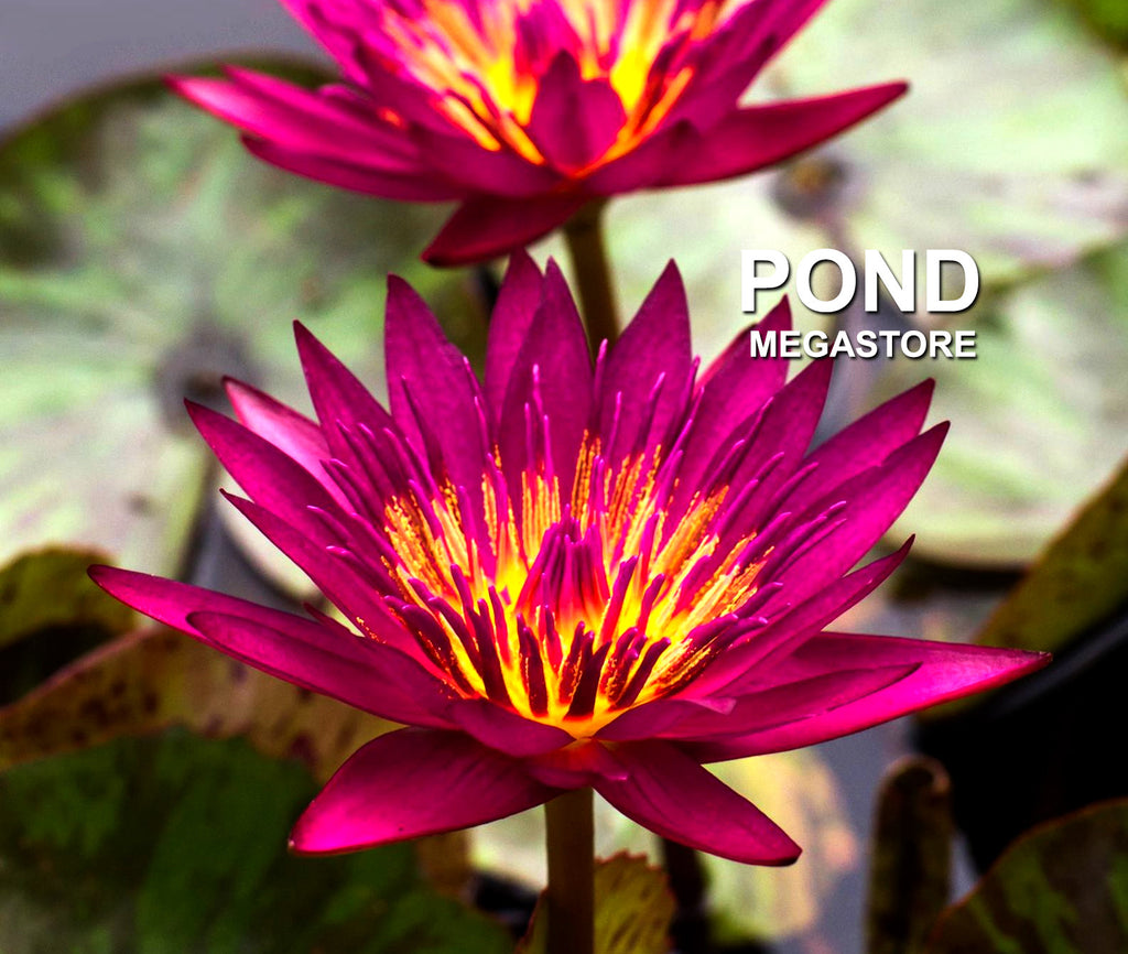 Doris Holt | Dark Red Water Lily | Exclusive NEW - Pond Megastore Wholesale Waterlilies Dept