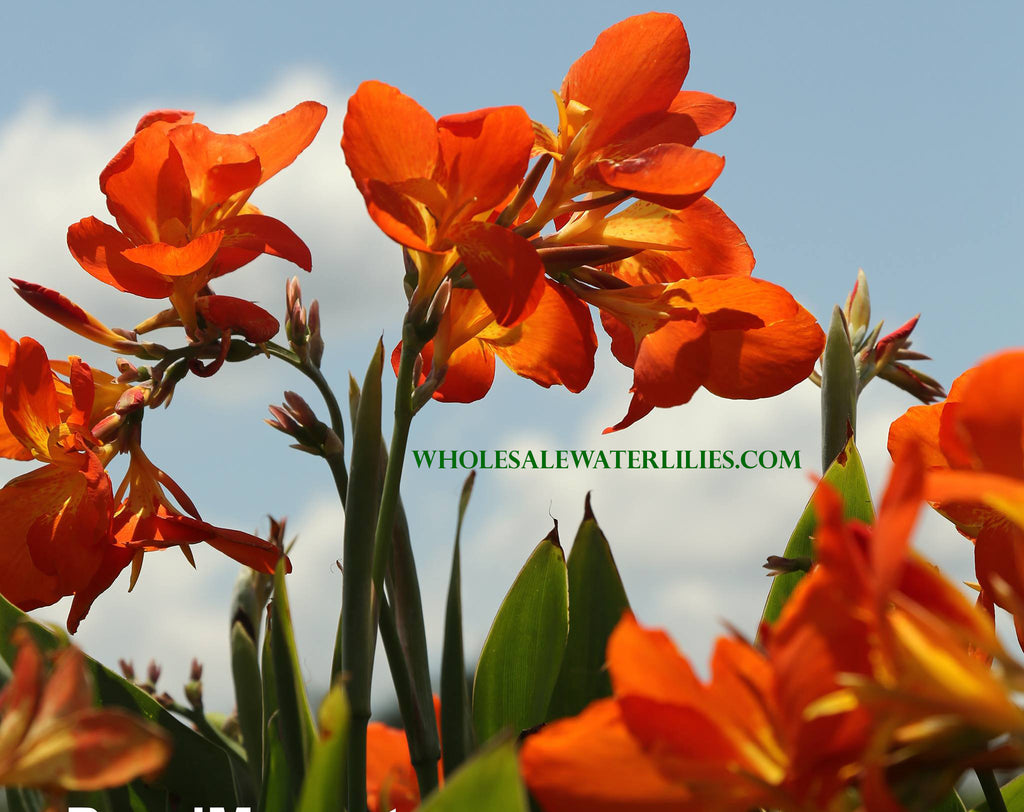 Orange Punch | Dwarf Water Canna | Favorite! - Pond Megastore Wholesale Waterlilies Dept