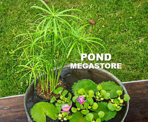 Dwarf Umbrella Palm | Cyperus alternifolius 'Baby Tut' - Pond Megastore Wholesale Waterlilies Dept